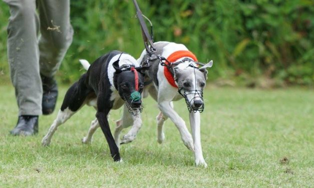 West Somerset Whippet Racing Club Sprint – 13th September 2020