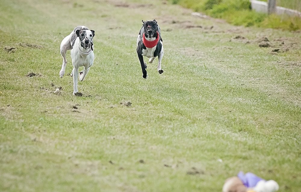 Whippet Club Racing
